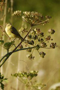 Pouillot fitis (Phylloscopus trochilus) -  La Réserve Naturelle Régionale du Grand Voyeux