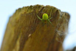 Araignée (Araniella cucurbitina)<br> Réserve Naturelle Régionale du Grand-Voyeux