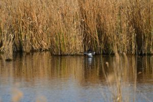 Canard plongeur Funigule morillon (Aythya fuligula)<br> Réserve Naturelle Régionale du Grand-Voyeux