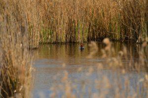 Canard plongeur Funigule milouin (Aythya ferina)<br> Réserve Naturelle Régionale du Grand-Voyeux