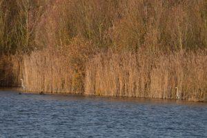 Le Héron cendré (Ardea cinerea)<br> Réserve Naturelle Régionale du Grand-Voyeux