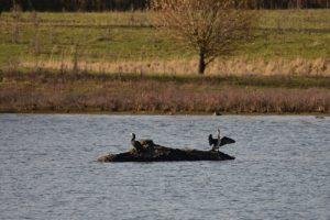 Le Grand Cormoran (Phalacrocorax carbo)<br> Réserve Naturelle Régionale du Grand-Voyeux
