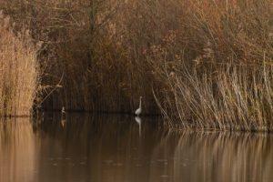 La Grande-Aigrette (Casmerodius albus)<br> Réserve Naturelle Régionale du Grand-Voyeux