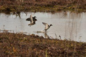 La Sarcelle d'hiver (Anas crecca)<br> Réserve Naturelle Régionale du Grand-Voyeux