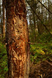 Pin picoré par un Pic<br> Réserve Naturelle Régionale du Grand-Voyeux