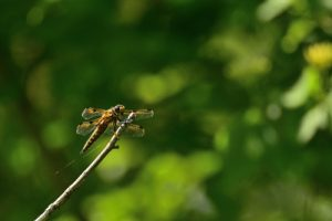La libellule à quatre taches (Libellula quadrimaculata)<br> Réserve Naturelle Régionale de la Bassée