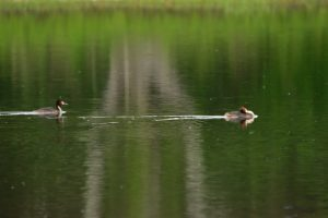 Grèbe huppé (Podiceps cristatus)<br> Réserve Naturelle Régionale de la Bassée