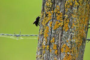 Abeille charpentière (Xylocopa sp.)<br> Réserve Naturelle Régionale de la Bassée