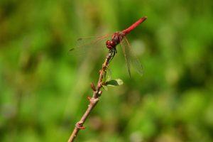 Le Sympétrum à nervures rouges (Sympetrum fonscolombii)<br> Réserve Naturelle Régionale de la Bassée