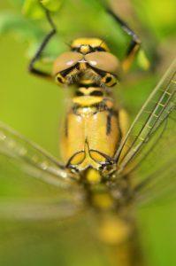 L'Orthétrum réticulé femelle (Orthetrum cancellatum)<br> Réserve Naturelle Régionale de la Bassée