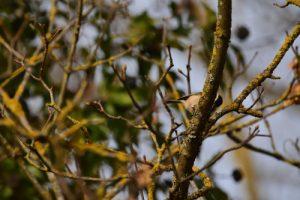 La Mésange nonnette (Poecile palustris)<br> Espace Naturel Sensible de l'Isle rouge