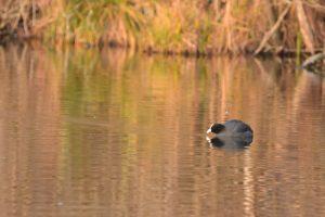 La Foulque macroule (Fulica atra)<br> Espace Naturel Sensible du Marais de Fontenay