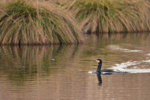 Le Grand Cormoran, ou Cormoran commun (Phalacrocorax carbo)<br>