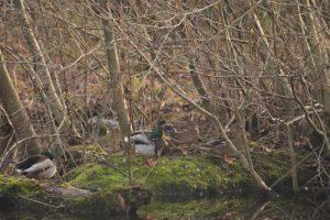 Le Canard colvert (Anas platyrhynchos)<br> Observatoire du Petit Marais<br> Espace Naturel Sensible du Marais de Misery