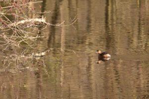 Le Grèbe castagneux (Tachybaptus ruficollis)<br> Observatoire du Petit Marais<br> Espace Naturel Sensible du Marais de Misery