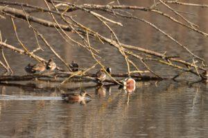 Sarcelle d'hiver (Anas crecca) &amp; Canard souchet (Anas clypeata)<br> Observatoire de Gravelles<br> Espace Naturel Sensible du Marais de Misery