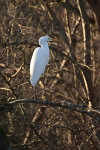 La Grande Aigrette (Ardea alba)<br> Espace Naturel Sensible du Marais de la Grande Ile