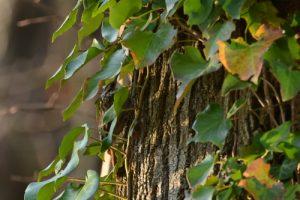 Le Grimpereau des jardins (Certhia brachydactyla)<br> Espace Naturel Sensible du Marais de la Grande Ile