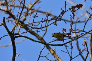 La Mésange bleue (Cyanistes caeruleus)<br> Espace Naturel Sensible du Marais de la Grande Ile