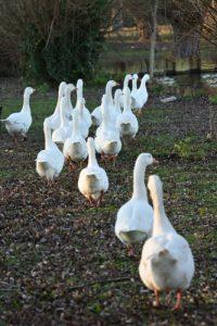 L'Oie domestique (Anser anser)<br> L'Étang de Vert-le-Petit