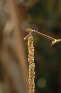 Les fleurs femelles ornées de stigmates rouges du Noisetier commun (Corylus avellana)