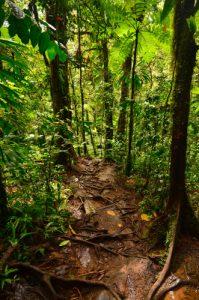Forêt tropicale au Bassin Paradise -  Parc national de la Guadeloupe -  Basse-Terre / Guadeloupe
