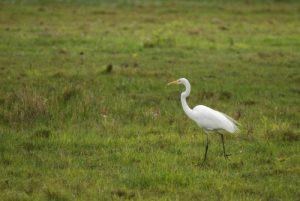 Grand Crabier blanc ou Grande Aigrette (Egretta alba) <br> Etang Rolan à Vieux-Habitants <br> Guadeloupe