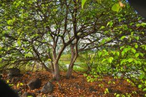 Mancenillier (Hippomane mancinella) <br> Etang Rolan à Vieux-Habitants <br> Guadeloupe