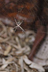 Araignée Argiope argentée (Argiope argentata)<br> Etang Rolan à Vieux-Habitants <br> Guadeloupe
