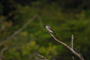 Tyran gris (Tyrannus dominicensis) -  Etang Rolan à Vieux-Habitants -  Guadeloupe