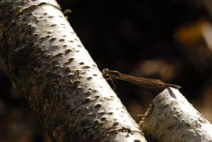 Le Leste brun (Sympecma fusca) ou brunette hivernale<br> Espace Naturel Sensible du Bois du Roi