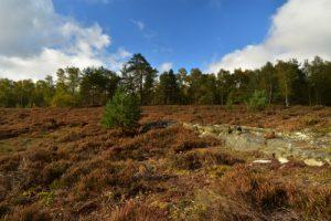 Landes sèches à Callune (Calluna vulgaris) &amp; Bruyère cendrée (Ericetum cinerae)<br> Espace Naturel Sensible du Bois du Roi