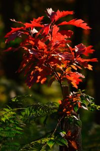 Plantation de Chêne rouge d'Amérique (Quercus rubra)<br> Espace Naturel Sensible du Bois du Roi