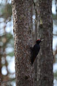 Le Pic noir (Dryocopus martius)<br> Le Mont Aigu<br> Forêt domaniale de Fontainebleau