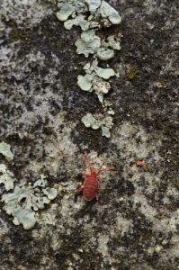 Le Trombidion soyeux (Trombidium holosericeum)<br> Rochers &amp; Platières du Long-Boyau<br> Forêt domaniale de Fontainebleau
