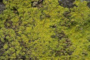 Lichen sur le Sentier Denecourt n°8<br> Rochers &amp; Platières du Long-Boyau<br> Forêt domaniale de Fontainebleau