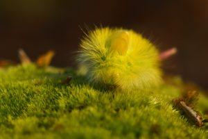 Chenille de l'Orgie pudibonde (Calliteara pudibunda)<br> La Forêt Domaniale de Retz