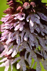 L'orchis pourpre (Orchis purpurea)<br> Forêt domaniale de Retz
