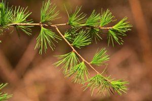 Le Mélèze d'Europe ou Mélèze commun (Larix decidua)<br> Forêt domaniale de Retz