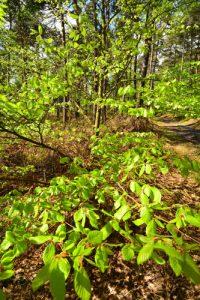 Le Hêtre commun (Fagus sylvatica)<br> Forêt domaniale de Retz