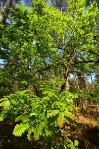 Le Chêne rouvre ou Chêne sessile (Quercus petraea)<br> Forêt domaniale de Retz