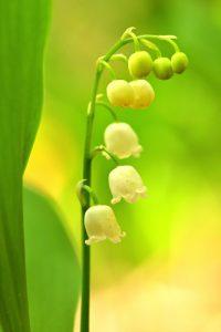Le Muguet de mai (Convallaria majalis)<br> Forêt domaniale de Retz