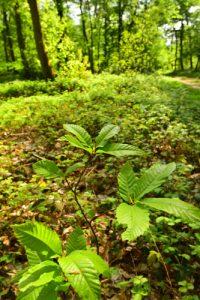 Le Châtaignier commun (Castanea sativa)<br> Forêt domaniale de Retz