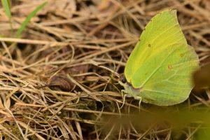 Le Citron (Gonepteryx rhamni)<br> Forêt domaniale de Retz