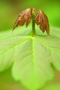 Jeunes feuilles d'Érable plane (Acer platanoides)<br> Forêt domaniale de Retz