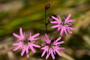Le Lychnis fleur-de-coucou (Lychnis flos-cuculi)<br> L'étang de La Brosse<br> Parc Naturel Régional du Golfe du Morbihan