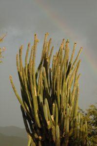 Cactus Cièrge (Pilosocereus royeni)<br> Anse à Barque<br> Basse-Terre / Guadeloupe