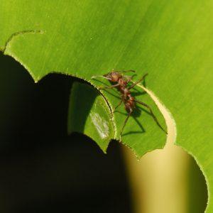 Fourmi coupe-feuilles ou fourmi manioc (Acromyrmex octospinosus) découpant une feuille de Siguine<br> Parc Naturel National de la Guadeloupe (Basse-Terre)