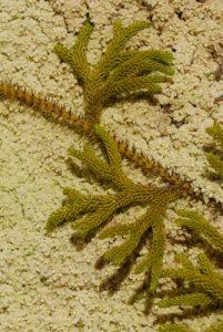 Lycopodiale pied de loup (Palhinhaea cernua)<br> Parc Naturel National de la Guadeloupe