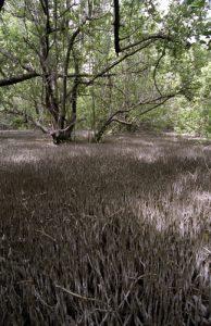 Pneumatophores de Palétuvier gris (Avicennia germinans)<br> Trace des Caps<br> Parc Naturel Régional de la Martinique